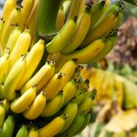 Bananas in various stages of ripeness growing on a tree